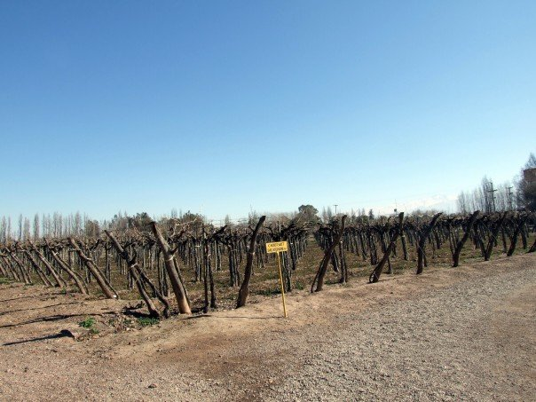 Grape vines in winter in Mendoza, Argentina