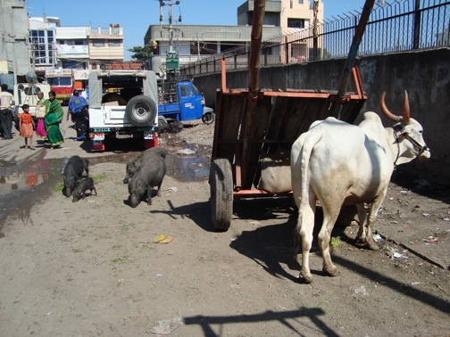 Cows and pigs in the streets of an Indian market